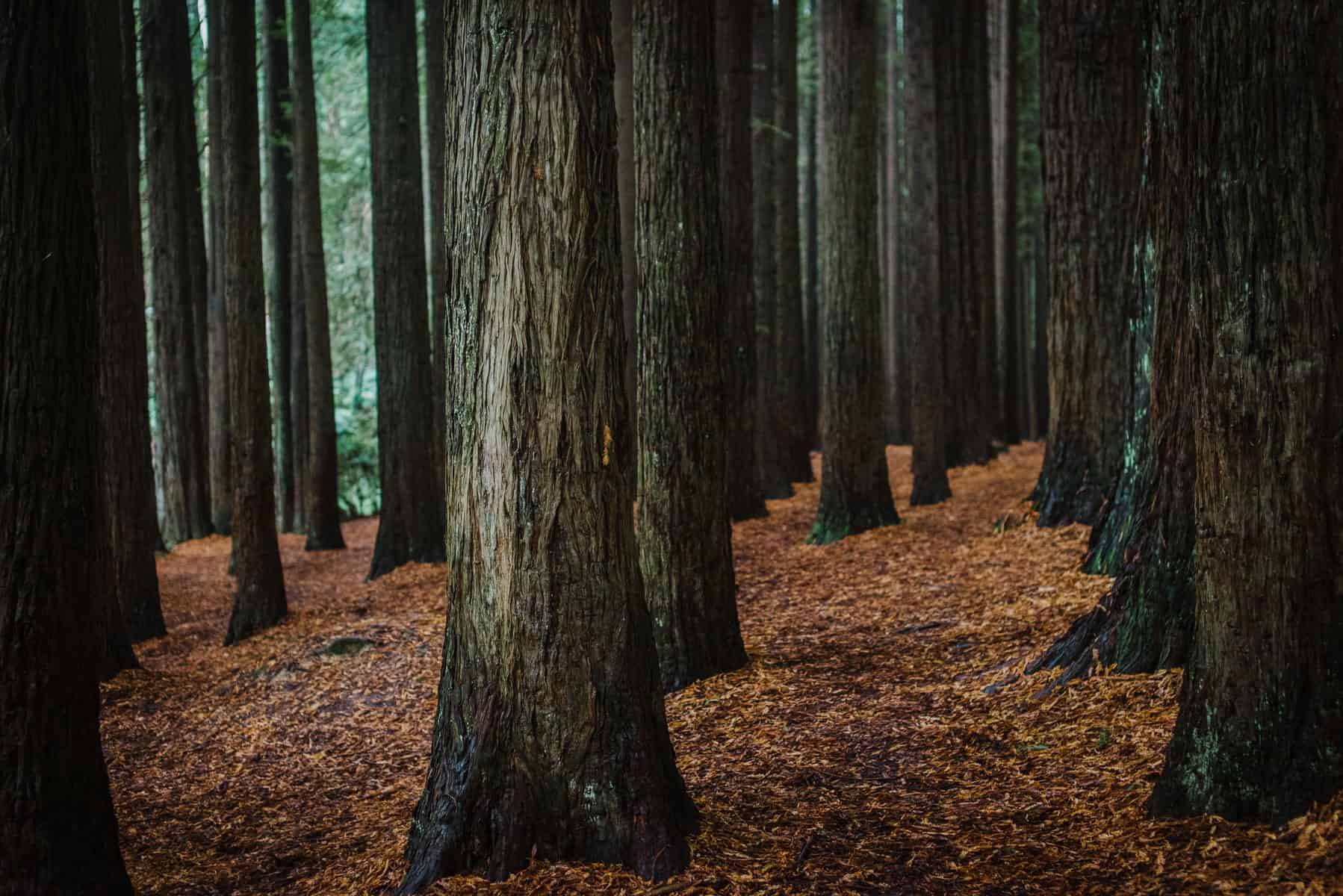 A Photo of the Redwood Plantation in Forrest, Victoria by Colac Otway Photographer Paul Benjamin
